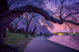 NOWdestination: cherry blossoms d.c.