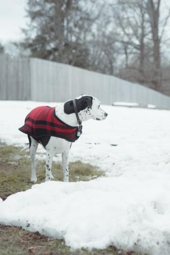 new-england-winter-dalmatian-01