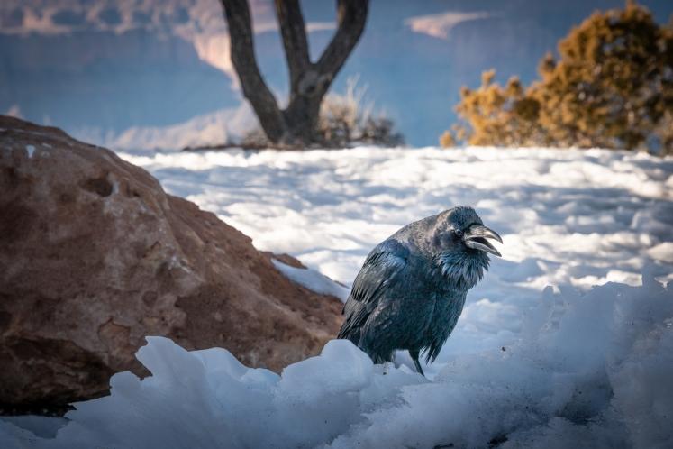 grand-canyon-south-rim-winter-raven-jamie-bannon-photography_8805